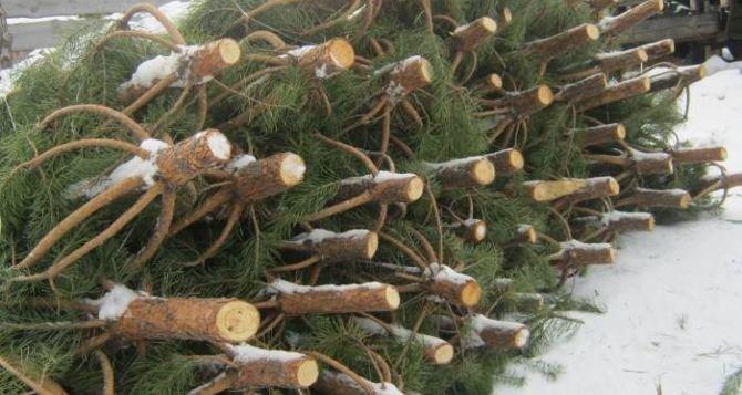 В Кременчуге не продались новогодние ёлочки - граждане переходят на искусственные, фото-1