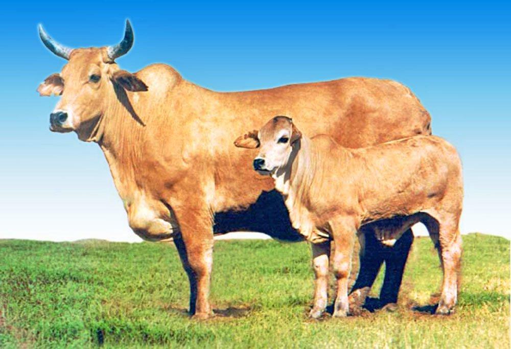 На розвиток українського тваринництва Уряд спрямує 4 мільярди гривень, фото-1