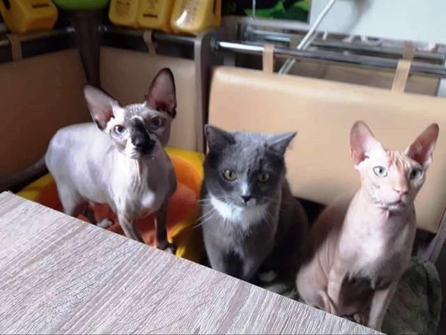 Кременчуцькі коти