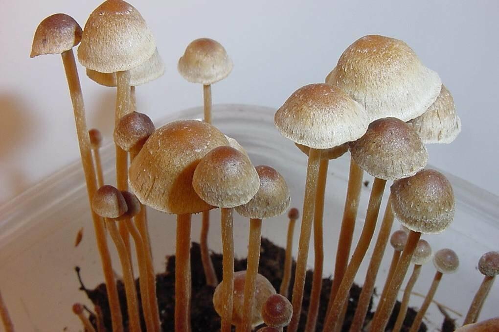 споры галлюциногенных грибов